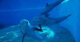 Delfine vor Nizza